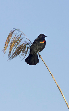 Male red winged blackbird