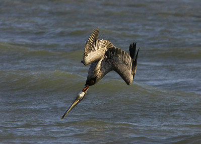 Brown pelican diving, just about to enter water