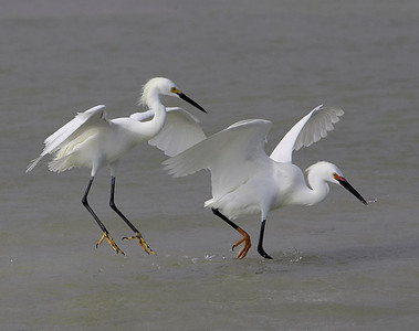 Snowy egrets fishing in the shallows