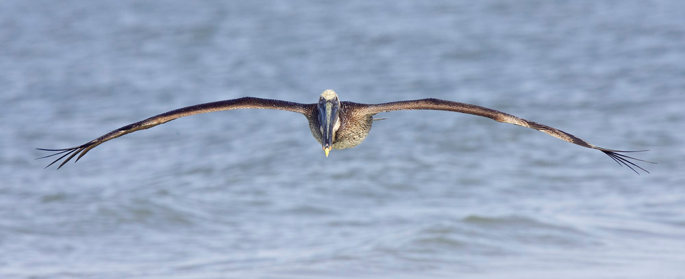 Brown pelican gliding in