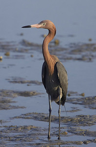 Reddish egret in mud