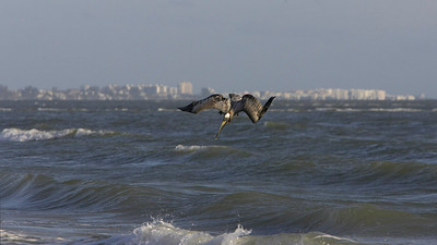 Brown pelican diving, Ft Myers