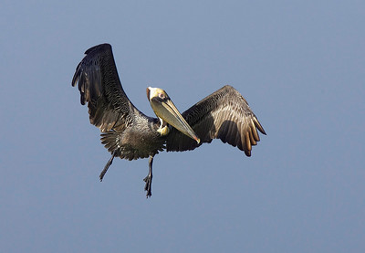 Brown pelican coming in
