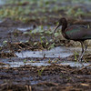 Glossy Ibis - Circle B Bar Reseve