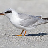 Forster's Tern - Florida