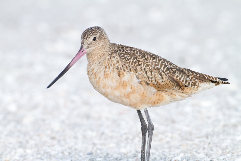 Marbled Godwit - Captiva, FL - February 2011