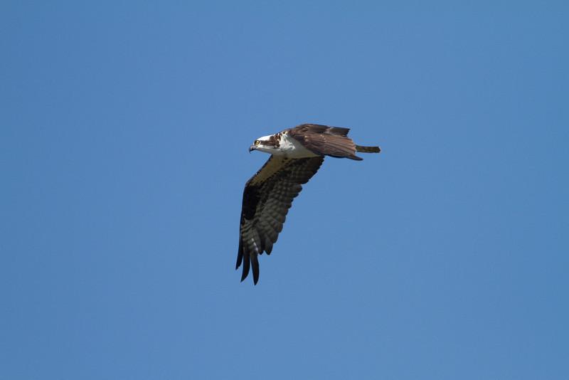 Osprey - Harns Marsh - February 2011