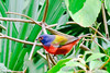 Painted Bunting - Green Cay, Fla