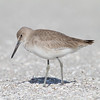 Willet - Captiva, FL