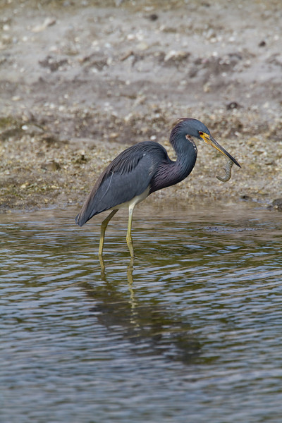 Tricolored Heron - Ding Darling - February 2011