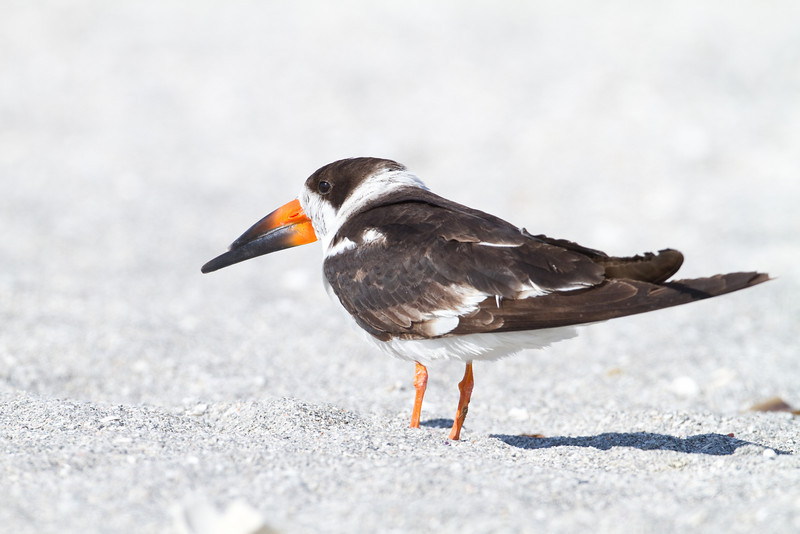 Black Skimmer - Captiva Beach - February 2011