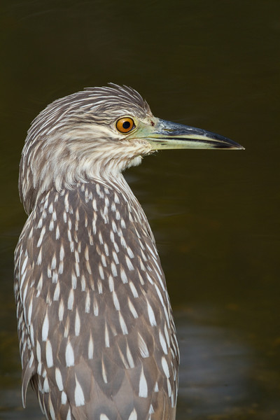 Black-crowned Night Heron (immature) - Ding Darling - February 2011