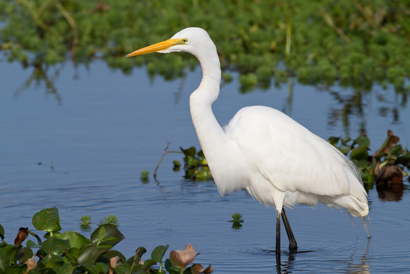 Great Egret - Harns Marsh Preserve