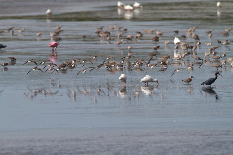 This is why Florida is such a great place for birding - lots of birds!<br /> Ding Darling - February 2011