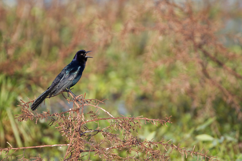 Boat tailed Grackle - Harns Marsh Preserve