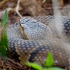 """Cottonmouth """"Waster Moccasin"""" - Six Mile Cypress Slough - February 2011<br /> Don't want to mess with this one."""