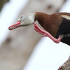 Black-bellied Whistling Duck - Circle B Bar Reserve - February 2011