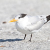 Royal Tern - Captiva, FL