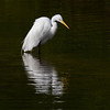 Great Egret - Ding Darling - February 2011