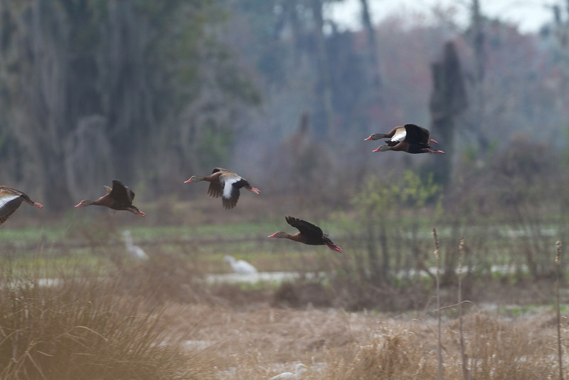 Black-bellied Whistling Ducks - Circle B Bar Reserve - February 2011