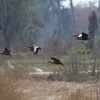 Black-bellied Whistling Ducks - Circle B Bar Reserve - February 2011