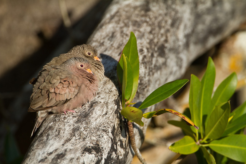 Common Ground Dove - Ding Darling