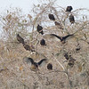 Turkey Vultures - Harns Marsh