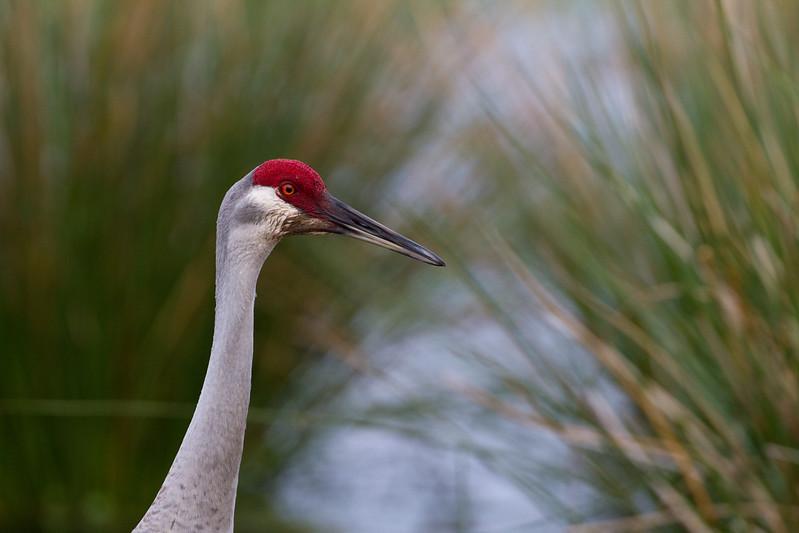 Sandhill Crane - Circle B Bar Reserve