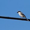 Loggerhead Shrike - Georgia<br /> Stopped to get gas and saw this one on the wire.