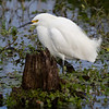 Snowy Egret - Circle B Bar Reserve