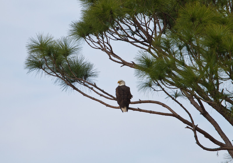 Bald Eagle - Circle B Bar Reserve