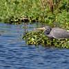 Tricolored Heron - Harns Marsh