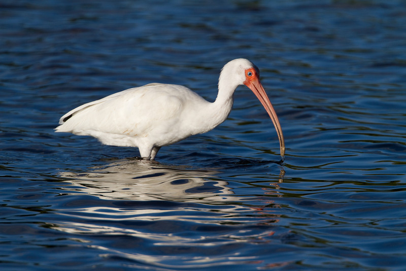 White Ibis - Ding Darling NWR - February 2011