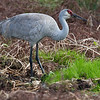 Sandhill Crane - Circle B Bar Reserve - February 2011