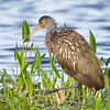Limpkin - Circle B Bar Reserve