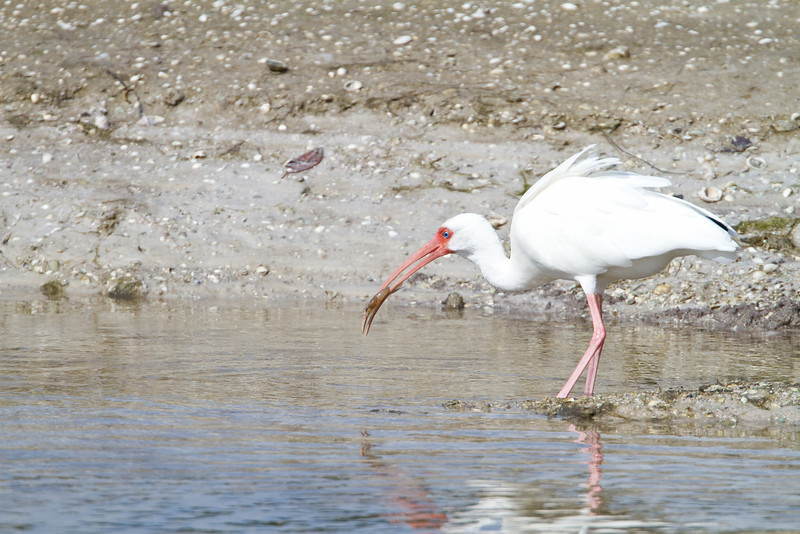 White Ibis eating a Shrimp - Ding Darling - February 2011
