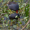 Common Moorhen - Circle B Bar Reserve
