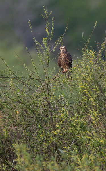 Snail Kite - Harns Marsh