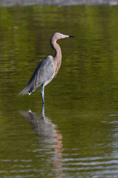 Reddish Egret - Ding Darling - February 2011