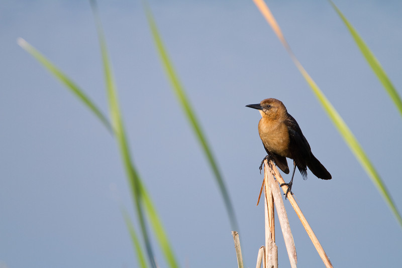 Boat-tailed Grackle - Harns Marsh Preserve