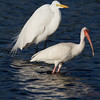 Great Egret and White Ibis - Ding Darling NWR - February 2011