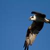 Osprey - Harns Marsh Preserve