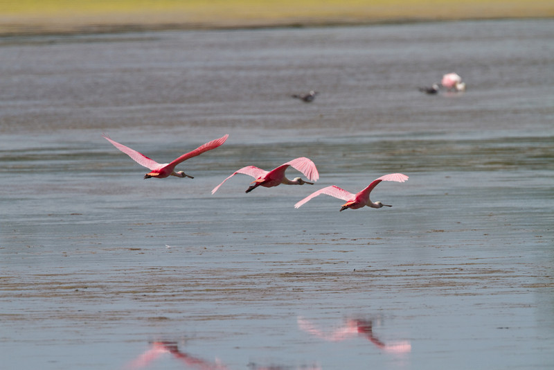 Spoonbills - Ding Darling - February 2011
