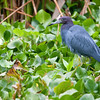 Little Blue Heron - Corkscrew Swamp Sanctuary