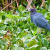 Little Blue Heron - Corkscrew Swamp Sanctuary