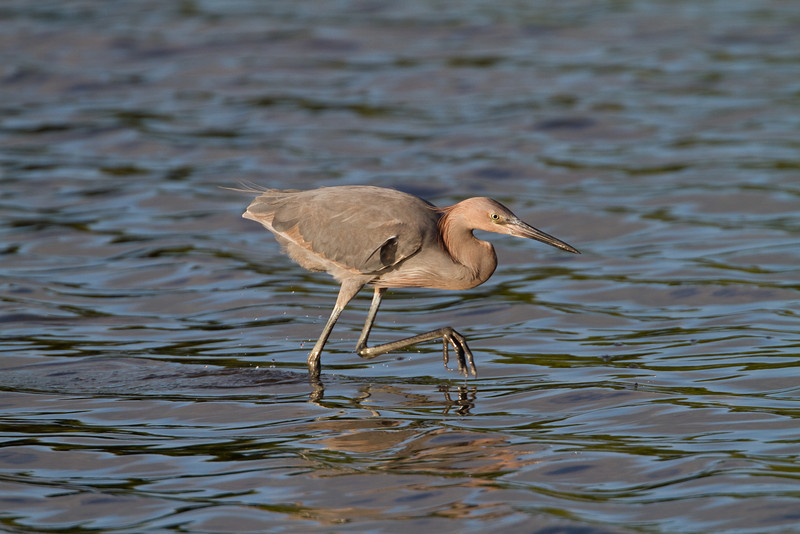 Reddish Egret - Ding Darling NWR - February 2011