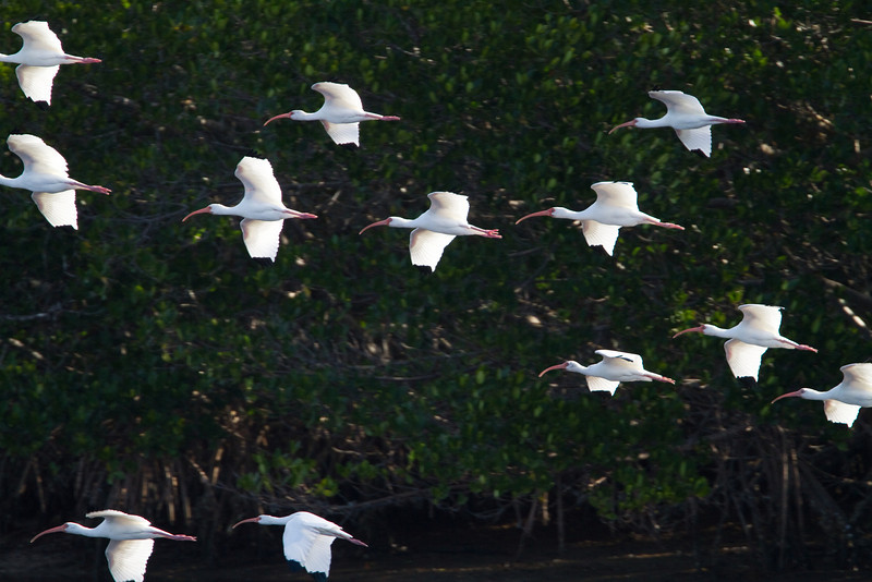 White Ibis - Ding Darling - February 2011