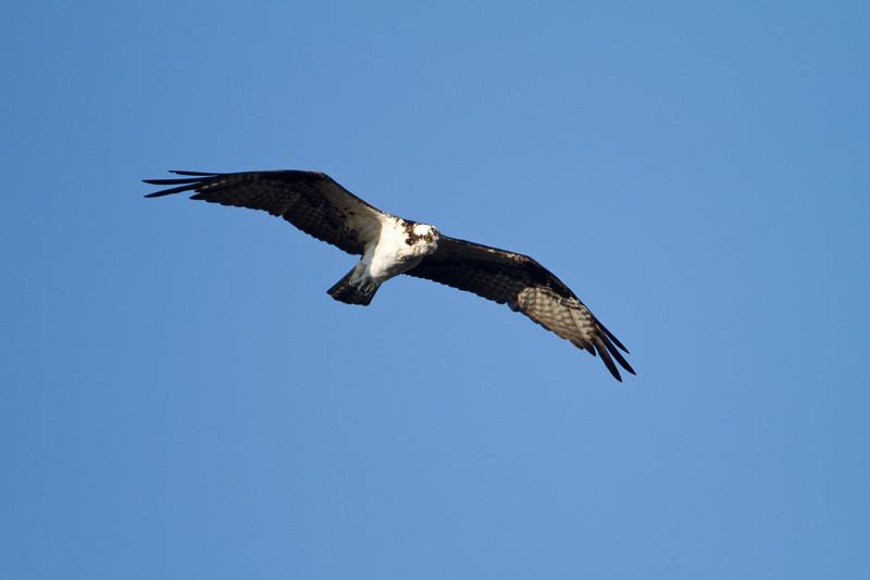 Osprey - Harns Marsh