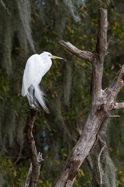 Great Egret - Circle B Bar Reserve