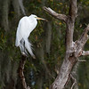 Great Egret - Circle B Bar Reserve